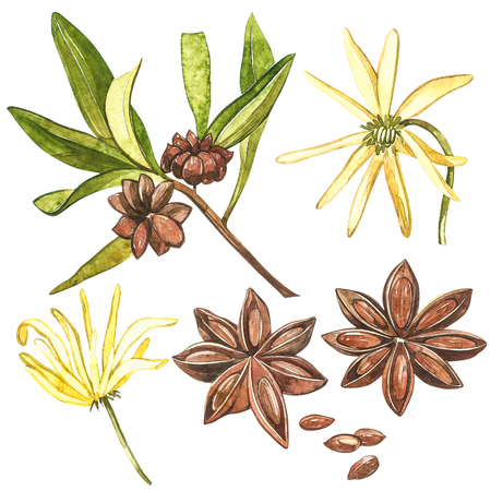 Star anise plants isolated on white background. Watercolor botanical illustration of culinary and healing plant star anise Banco de Imagens