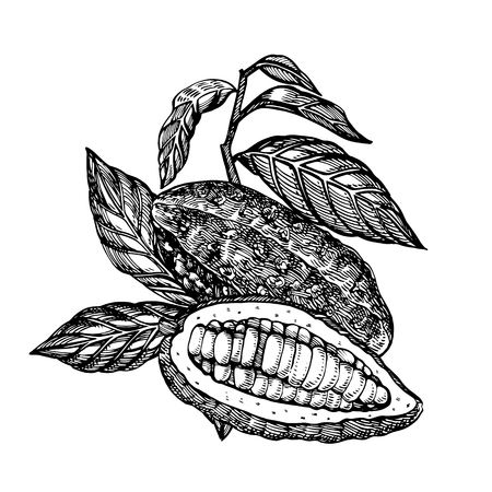 Chocolate Cocoa beans illustration. Engraved style illustration. Sketched hand drawn cacao beans, tree, leafs and branches.