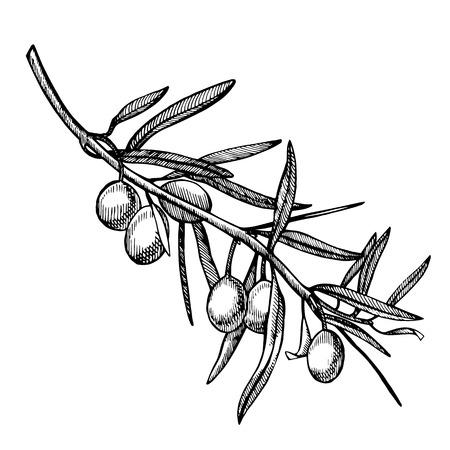 Ein Zweig reifer Oliven wird saftig mit Öl übergossen. Menüdesign für den Bauernmarkt. Bio-Lebensmittel-Poster. Vintage handgezeichnete Skizze Abbildung. Lineare Grafik Standard-Bild
