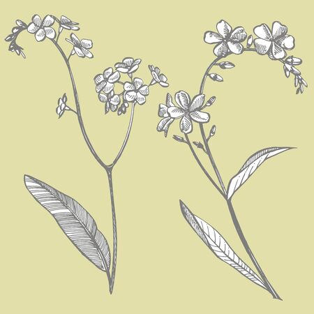 Forget-me-not flowers. Botanical illustration. Good for cosmetics, medicine, treating, aromatherapy, nursing, package design, field bouquet. Hand drawn wild hay flowers.
