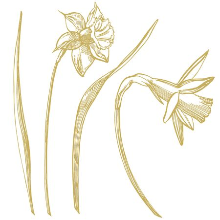 Daffodil or Narcissus flower drawings. Collection of hand drawn black and white daffodil. Hand Drawn Botanical Illustrations. Stok Fotoğraf