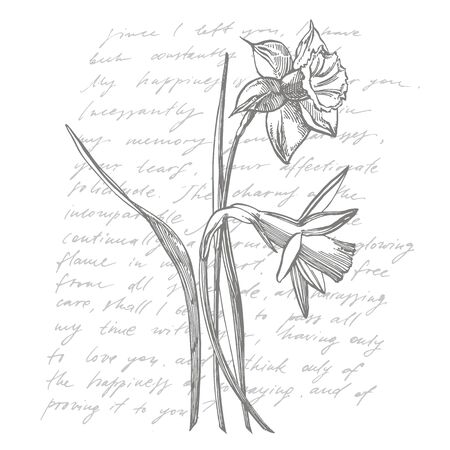 Daffodil or Narcissus flower drawings. Collection of hand drawn black and white daffodil. Hand Drawn Botanical Illustrations. Handwritten abstract text.