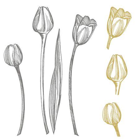 Tulip flower graphic sketch illustration. Botanical plant illustration. Vintage medicinal herbs sketch set of ink hand drawn medical herbs and plants sketch. Stok Fotoğraf