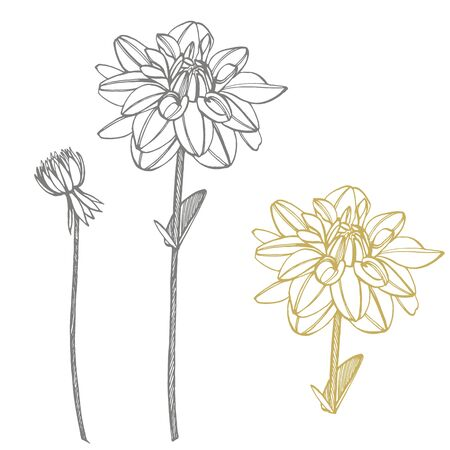 Hand-drawn ink dahlias. Floral elements. Graphic flowers illustrations. Botanical plant illustration. Vintage medicinal herbs sketch set of ink hand drawn medical herbs and plants sketch