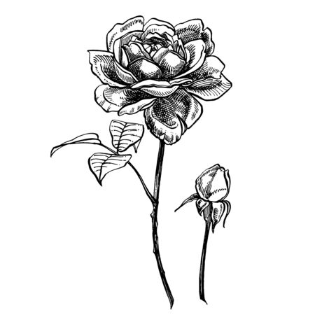 Roses. Hand drawn flower set illustrations. Botanical plant illustration. Vintage medicinal herbs sketch set of ink hand drawn medical herbs and plants sketch. Stok Fotoğraf