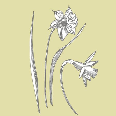 Daffodil or Narcissus flower drawings. Collection of hand drawn black and white daffodil. Hand Drawn Botanical Illustrations 스톡 콘텐츠