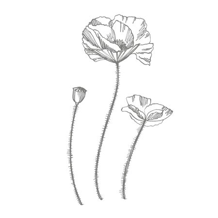 Poppy flowers. Botanical plant illustration. Vintage medicinal herbs sketch set of ink hand drawn medical herbs and plants sketch 스톡 콘텐츠