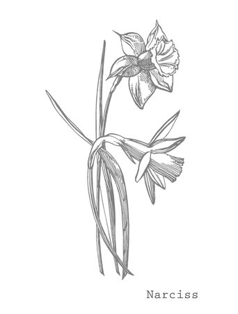 Daffodil or Narcissus flower drawings. Collection of  black and white daffodil.  Botanical Illustrations