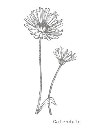 Calendula or daisy flower. Botanical illustration. Stok Fotoğraf