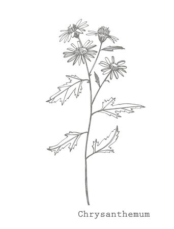 Black and white illustration of Chamomile in the style of engravings
