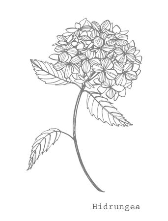 Hydrangea graphic illustration in vintage style. Flowers drawing and sketch with line-art on white backgrounds. Botanical plant illustration