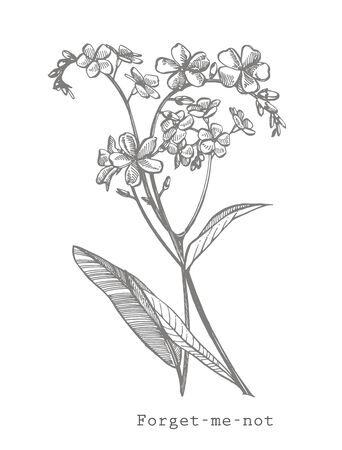 Forget-me-not flowers. Botanical illustration.