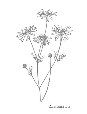 Chamomile. Collection of  flowers and plants. Botany. Set. Vintage flowers. Black and white illustration in the style of engravings