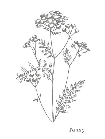 Tansy or daisy flower. Botanical illustration.