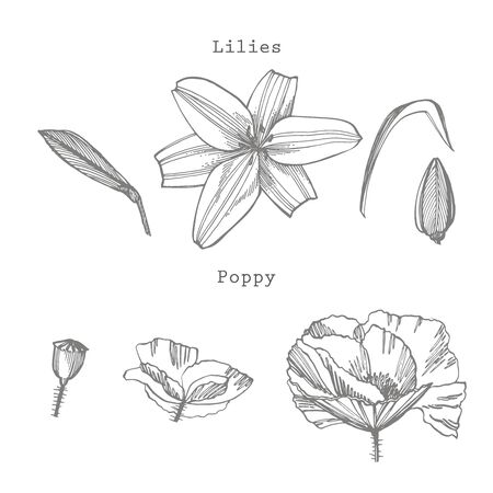 Lily and Poppy flowers. Botanical illustration.