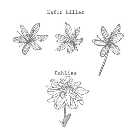 Kafir Lilies and Dahlias flowers. Collection of   flowers and plants. Botany. Vintage flowers. Black and white illustration in the style of engravings