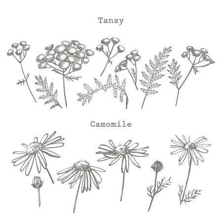 Tansy and Chamomile or daisy flower. Botanical illustration. Stok Fotoğraf