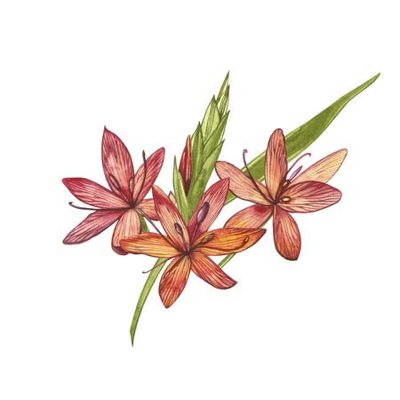 Kafir Lilies flowers. Collection of hand drawn flowers and plants. Botany. Set. Vintage flowers. Watercolor set of flowers and leaves, hand drawn floral illustration isolated on a white background. Botanical art.