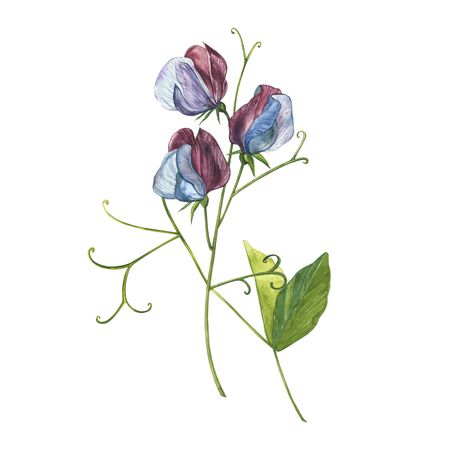 Watercolor set of Sweet Peas flowers and leaves, hand drawn floral illustration isolated on a white background. Collection garden and wild herb, flowers, branches. Botanical art. Stock Illustration - 129417697