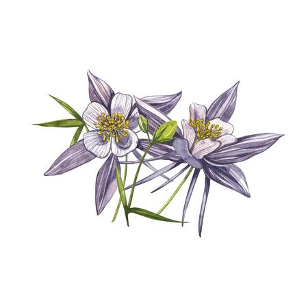 Double Columbine flowers. Collection of hand drawn flowers and plants. Watercolor set of flowers and leaves, hand drawn floral illustration isolated on a white background. Collection garden and wild herb, flowers, branches. Botanical art. Stok Fotoğraf