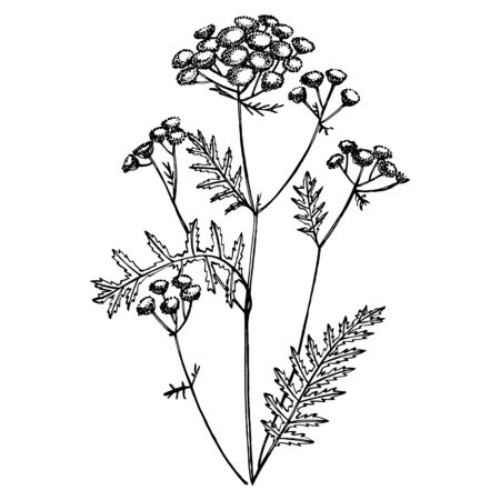 Tansy or daisy flower. Botanical illustration. Good for cosmetics, medicine, treating, aromatherapy, nursing, package design, field bouquet. Hand drawn wild hay flowers