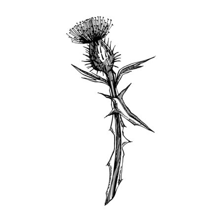 Thistle or daisy flower. Botanical illustration. Good for cosmetics, medicine, treating, aromatherapy, nursing, package design, field bouquet. Hand drawn wild hay flowers
