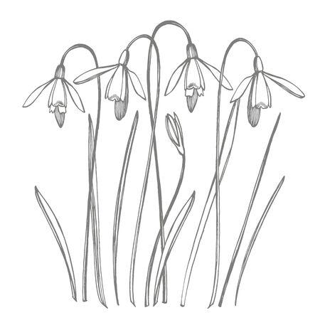 Snowdrop spring flowers. Botanical plant illustration. Vintage medicinal herbs sketch set of ink hand drawn medical herbs and plants sketch.