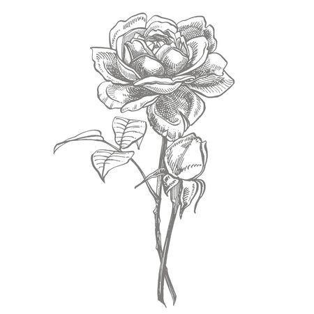 Roses. Hand drawn flower set illustrations. Botanical plant illustration. Vintage medicinal herbs sketch set of ink hand drawn medical herbs and plants sketch Ilustração