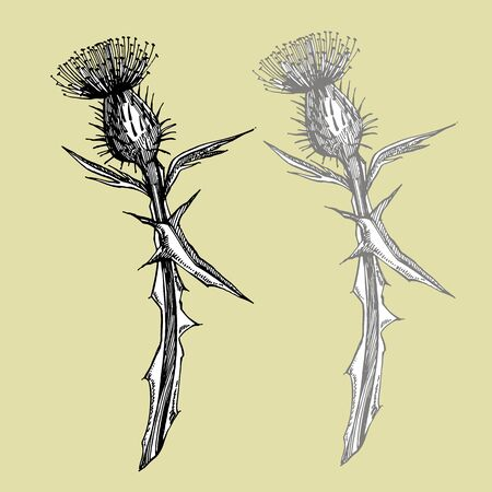 Thistle or daisy flower. Botanical illustration. Good for cosmetics, medicine, treating, aromatherapy, nursing, package design, field bouquet. Hand drawn wild hay flowers.