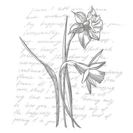 Narzissen- oder Narzissenblumenzeichnungen. Sammlung von handgezeichneten schwarzen und weißen Narzissen. Handgezeichnete botanische Illustrationen. Handgeschriebener abstrakter Text