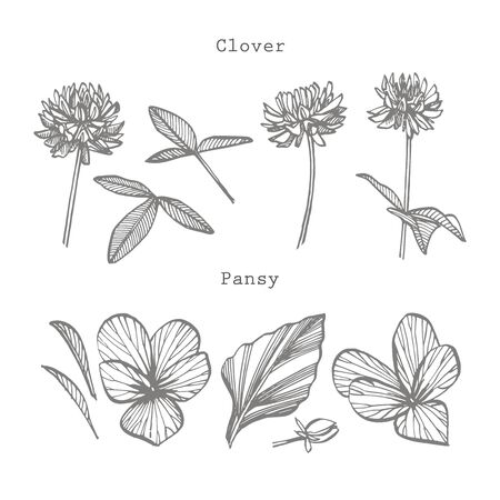 Pansy and Clover or daisy flower. Botanical illustration. Good for cosmetics, medicine, treating, aromatherapy, nursing, package design, field bouquet. Hand drawn wild hay flowers.
