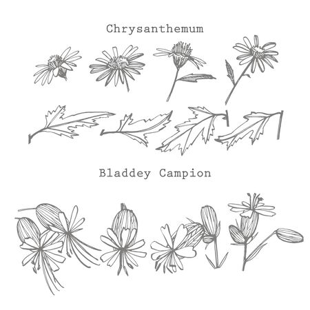 Chamomile and Bladdey Champion flowers. Collection of hand drawn flowers and plants. Botany. Set. Vintage flowers. Black and white illustration in the style of engravings.  イラスト・ベクター素材