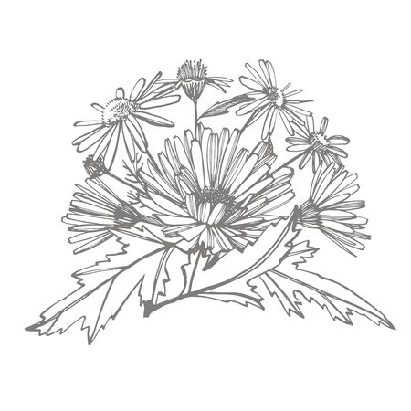 Chamomile. Collection of hand drawn flowers and plants. Botany. Set. Vintage flowers. Black and white illustration in the style of engravings.  イラスト・ベクター素材
