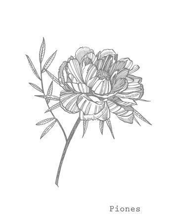 Peony flower and leaves drawing. Hand drawn engraved floral set. Botanical illustrations. Great for tattoo, invitations, greeting cards.  イラスト・ベクター素材