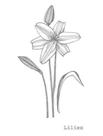 Lily flowers. Botanical illustration. Good for cosmetics, medicine, treating, aromatherapy, nursing, package design, field bouquet Hand drawn wild hay flowers. Ilustracja