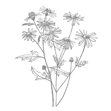 Tansy and Chamomile. Bouquet of hand drawn flowers and herbs. Botanical plant illustration. Vintage medicinal herbs sketch set of ink hand drawn medical herbs and plants sketch  イラスト・ベクター素材