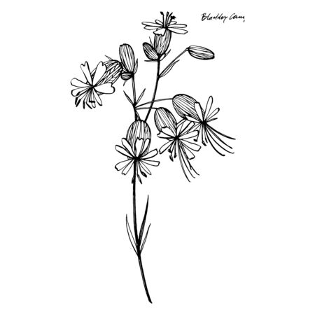 Bladder campion flowers. Set of drawing cornflowers, floral elements, hand drawn botanical illustration. Good for cosmetics, medicine, treating, aromatherapy, nursing, package design, field bouquet. H