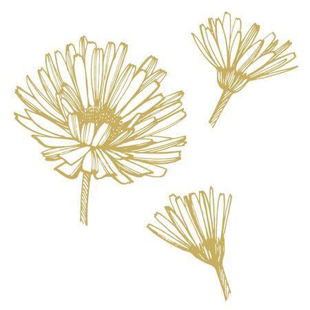 Calendula or daisy flower. Botanical illustration. Good for cosmetics, medicine, treating, aromatherapy, nursing, package design, field bouquet. Hand drawn wild hay flowers