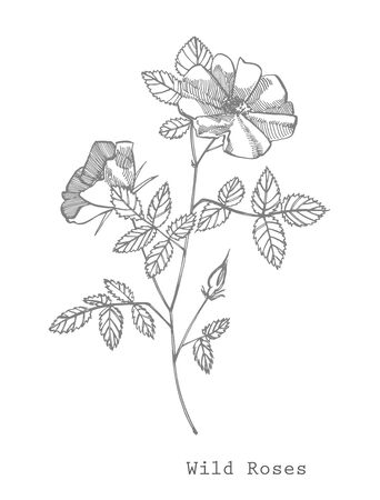 Wild rose flowers drawing and sketch illustrations. Decorative floral set for fabric, textile, wrapping paper, card, invitation, wallpaper, web design.