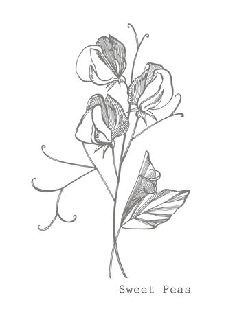 Fiori di pisello dolce disegno e schizzo con line-art su sfondi bianchi. Motivo floreale con fiori di piselli dolci. Elegante il modello per tessuto, carta, cartolina.