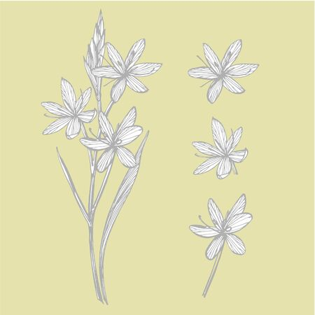 Kafir Lilies flowers. Collection of hand drawn flowers and plants. Botany. Set. Vintage flowers. Black and white illustration in the style of engravings.