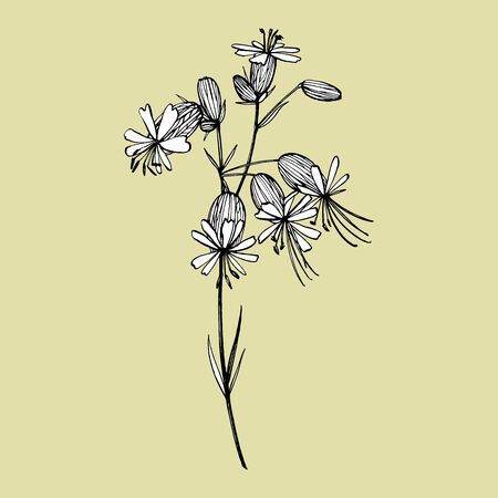 Bladder campion flowers. Set of drawing cornflowers, floral elements, hand drawn botanical illustration. Good for cosmetics, medicine, treating, aromatherapy, nursing, package design, field bouquet. Hand drawn wild hay flowers.