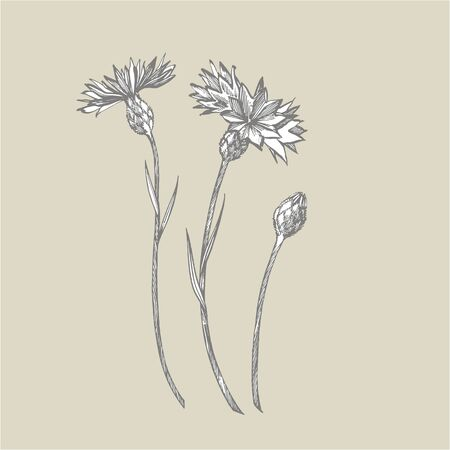 Blue Cornflower Herb or bachelor button flower bouquet isolated on white background. Set of drawing cornflowers, floral elements, hand drawn botanical illustration Illustration