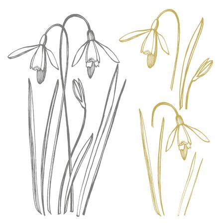Snowdrop spring flowers. Botanical plant illustration. Vintage medicinal herbs sketch set of ink hand drawn medical herbs and plants sketch
