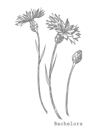 Blue Cornflower Herb or bachelor button flower bouquet isolated on white background. Set of drawing cornflowers, floral elements, hand drawn botanical illustration. Illustration