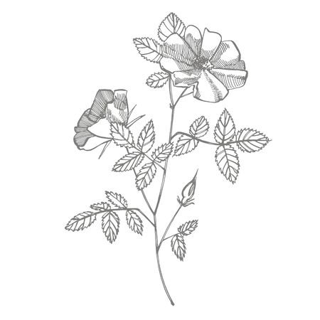 Wild rose flowers drawing and sketch illustrations. Decorative floral set for fabric, textile, wrapping paper, card, invitation, wallpaper, web design