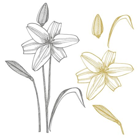 Lily flowers. Botanical illustration. Good for cosmetics, medicine, treating, aromatherapy, nursing, package design, field bouquet Hand drawn wild hay flowers