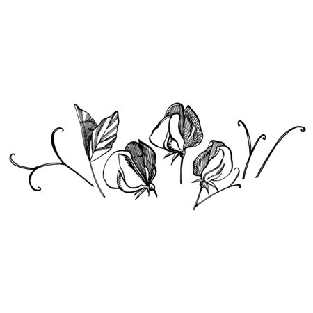 Sweet pea flowers drawing and sketch with line-art on white backgrounds. Floral pattern with flowers of sweet peas. Elegant the template for fabric, paper, postcard