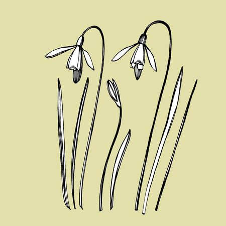 Snowdrop spring flowers. Botanical plant illustration. Vintage medicinal herbs sketch set of ink hand drawn medical herbs and plants sketch.