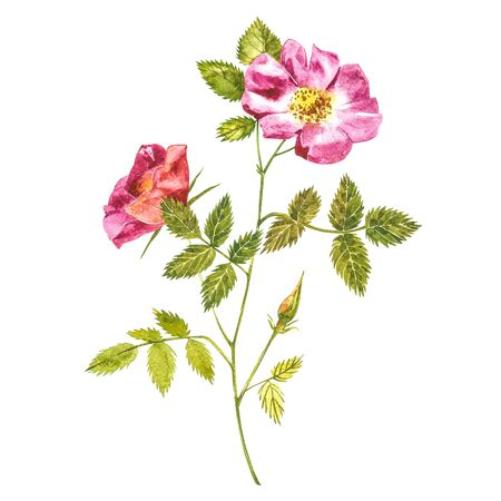 Botanical wild rose flower watercolor. Watercolor set of rose hip flowers and leaves, hand drawn floral illustration isolated on a white background